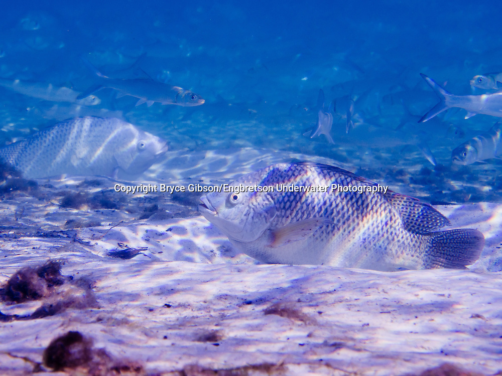 Nile Tilapia<br />