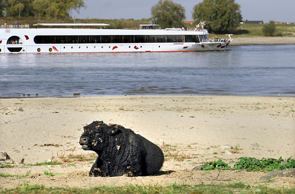 Nederland, the netherlands, Nijmegen, 19-10-2018 Een passagiersboot, cruiseschip, vaart in de Waal langs de drooggevallen oever waar een wilde grazer, Galloway rund ligt te grazen . Door de aanhoudende droogte staat het water in de rijn, ijssel en waal extreem laag . Laagterecord en de laagste officiele stand ooit bij Lobith gemeten . Schepen moeten minder lading innemen om niet te diep te komen . Hierdoor is het drukker in de smallere vaargeul . Door te weinig regenval in het stroomgebied van de rijn is het record verbroken . Foto: Flip Franssen