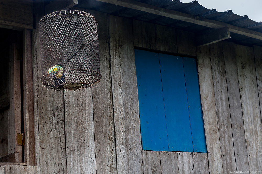 A Keel-billed Toucan hangs in a cage on the edge of the jungle, Boca de Sabalo (Sambu), Darien Province, Panama.
