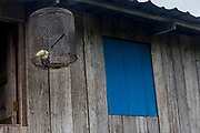 A Keel-billed Toucan hangs in a cage on the edge of the jungle, Boca de Sabalo (Sambu), Darien Province, Panama.