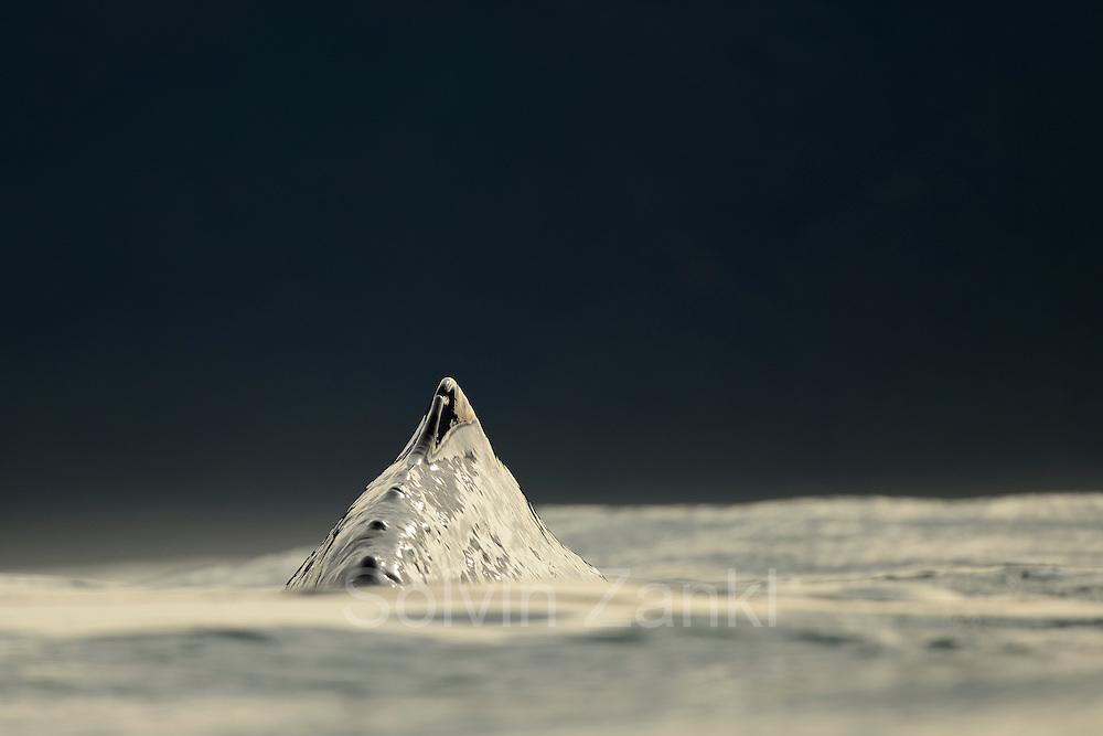 Sperm whale (Physeter macrocephalus) Kaikoura, New Zealand | Pottwal (Physeter catodon oder Physeter macrocephalus) Kaikoura, Neuseeland