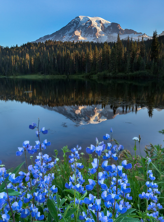 6:29 AM First light starts to pour down Rainier as the lupine put on a show.