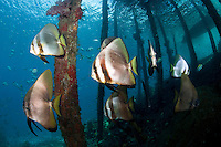 Longfin Spadefishes.Shot in West Papua Province, Indonesia