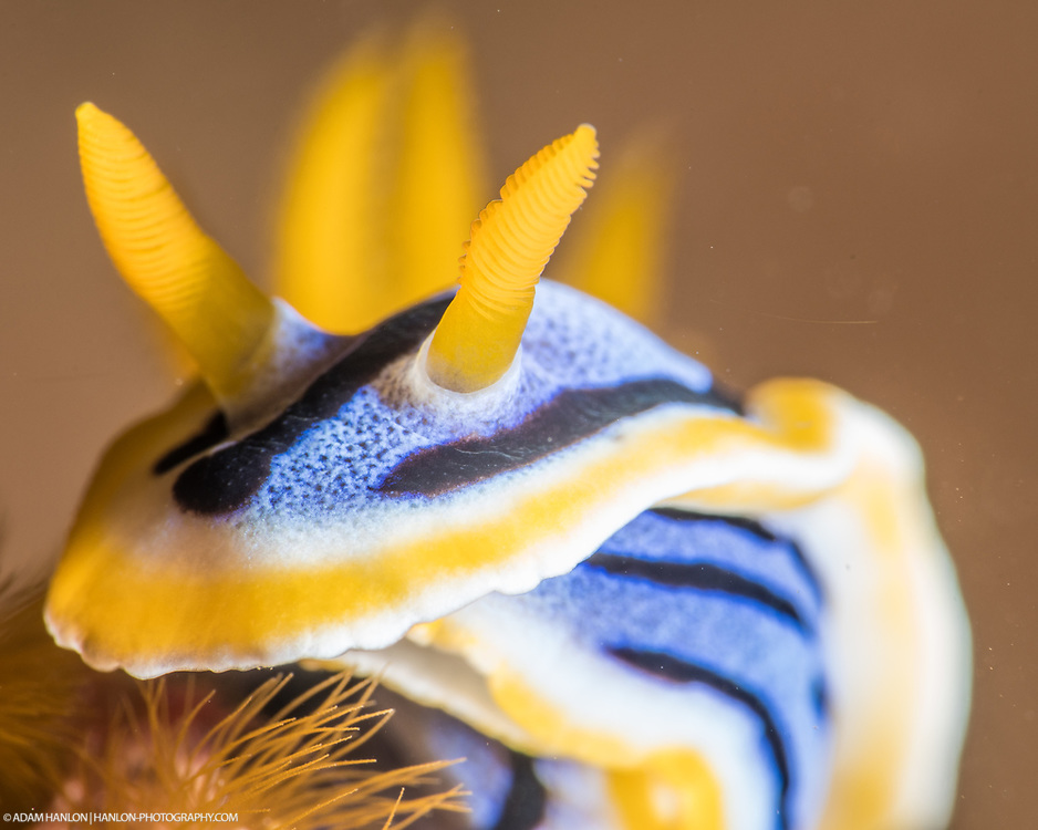 A streaked Chromodoris (Chromodoris strigata) turns away from the camera. The rhinophores allow the animal to make sense of its environment and are complex sesnory organs. Taken in the Lembeh Straits, Sulawesi, Indonesia.