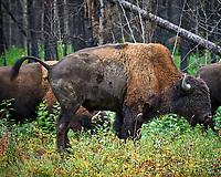 Bison alongside the Alaska-Canada Highway. Image taken with a Nikon D700 camera and 70-300 mm f/4 lens (ISO 900, 300 mm, f/5.6, 1/60 sec).