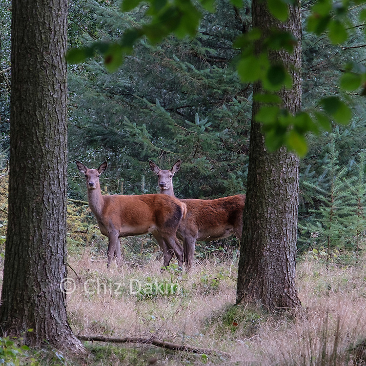Deer can be heard bellowing in late autumn