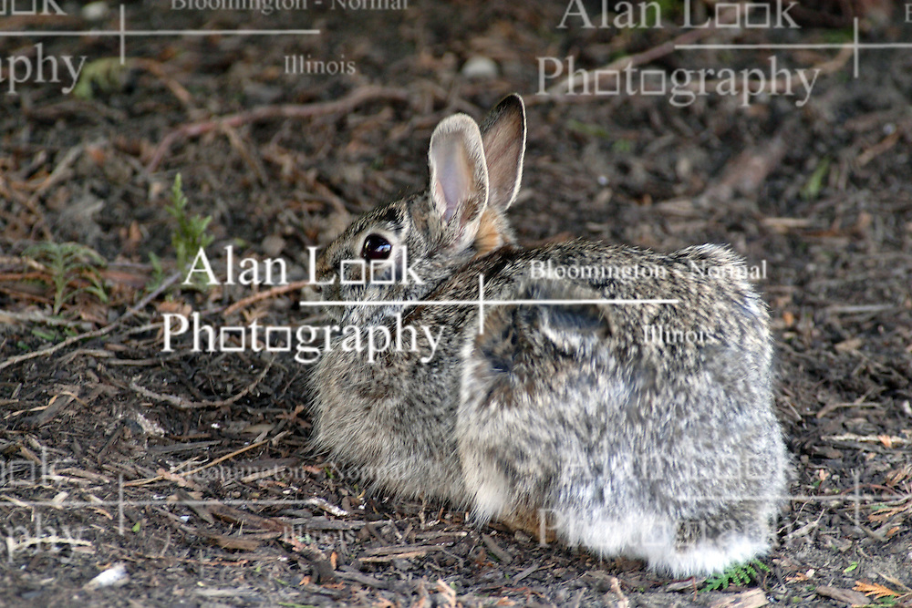 08 April 2005:   a cotton tail rabbit hugs the ground pretending to hide as it blends in with the background of mulch and dirt in a midwestern homes lawn and garden