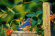 01377-12805 Eastern Bluebird (Sialia sialis) male on wooden fence with Dropmore Scarlet Honeysuckle  Marion Co. IL