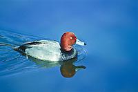 Redhead duck (Aythya americana) male.  Male: Reddish head; black breast and grayish body.  Habitat:  Found in ponds, lakes and bays.