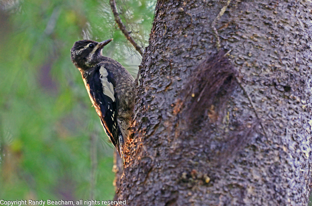 Red-naped sapsucker in a conifer forest. Yaak Valley in the Purcell Mountains, northwest Montana.