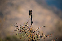 Magpie shrike, Pilanesberg National Park, North West, South Africa