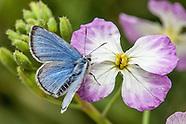 Glaucopsyche lygdamus palosverdesensis - Palos Verdes Blues