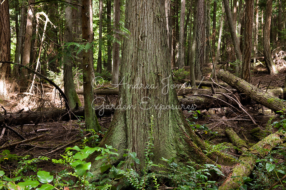 Trunk of Thuja plicata (Western red cedar) in woodland at Port Townsend, Washington, USA
