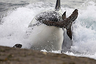 Killer whale; Orca.Orcinus orca.Hunting South American Sea lion pups at the water's edge. Punta Norte, Valdes Peninsula, Province Chubut, Patagonia, Argentina