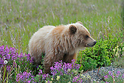 Young grizzly bear (Ursus arctos horribilis) along the Alaska Highway<br /> Alaska Highway east of Haines Junction<br /> Yukon<br /> Canada