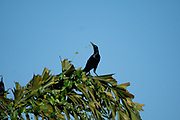 great-tailed grackle or Mexican grackle (Quiscalus mexicanus) is a medium-sized, highly social passerine bird native to North and South America.