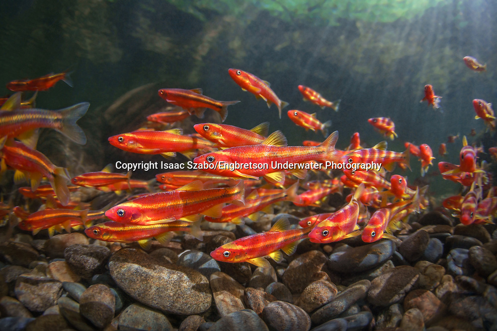 Saffron Shiners<br /> <br /> Isaac Szabo/Engbretson Underwater Photography