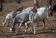 Goats looking for food in desertified Sahel.