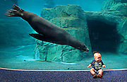 Eight-month-old Greyson Garrett is approached by Maverick, one of Riverbanks Zoo and Garden's new sea lions, Monday, May 16, 2016. Zoo members got a special look at the new Sea Lion Landing home to four male sea lions and a male harbor seal.