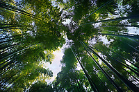 Arashiyama bamboo forest, dreamy skyward low angle view of the canopy of arching tree tops above. Kyoto, Japan.