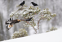 Golden eagle (Aquila chrysaëtos) and Raven (Corvus corax), Flatanger, Norway.