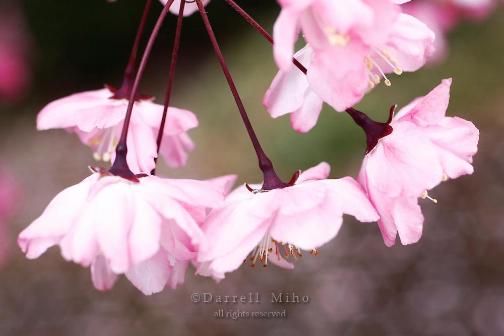 April 11, 2008; Tokyo, Japan - Cherry blossoms at Shinjuku Gyoen, Shinjuku...Photo credit: Darrell Miho