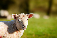 Lamb<br /> Brecon Beacons<br /> Sheep<br /> Fauna<br /> Flora And Fauna