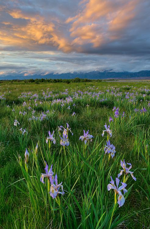 Iris Meadow Sunset, Medano Ranch, San Luis Valley, Colorado