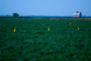 As the sun sets on a humid Midwestern summer evening, the lightning bugs beginning to come out, rising above a soybean field near Danforth, IL.