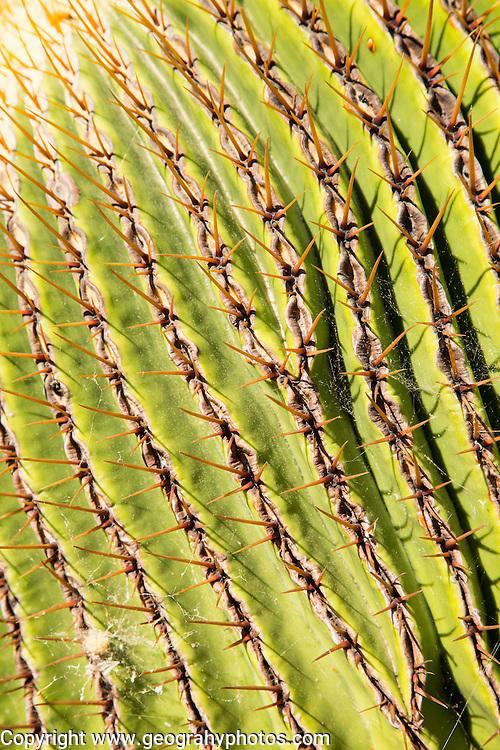 Cactus plant close up Jardin de Cactus designed by César Manrique, Guatiza, Lanzarote, Canary Islands, Spain. Cactaceae, Echinocactus Platyacanthus, from Puebla, Mexico