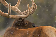 A bull elk comes eye to eye with a tiny brown-headed cowbird that has landed on his back. Cowbirds often perch on or near elk and other ungulates to collect the insects they attract.