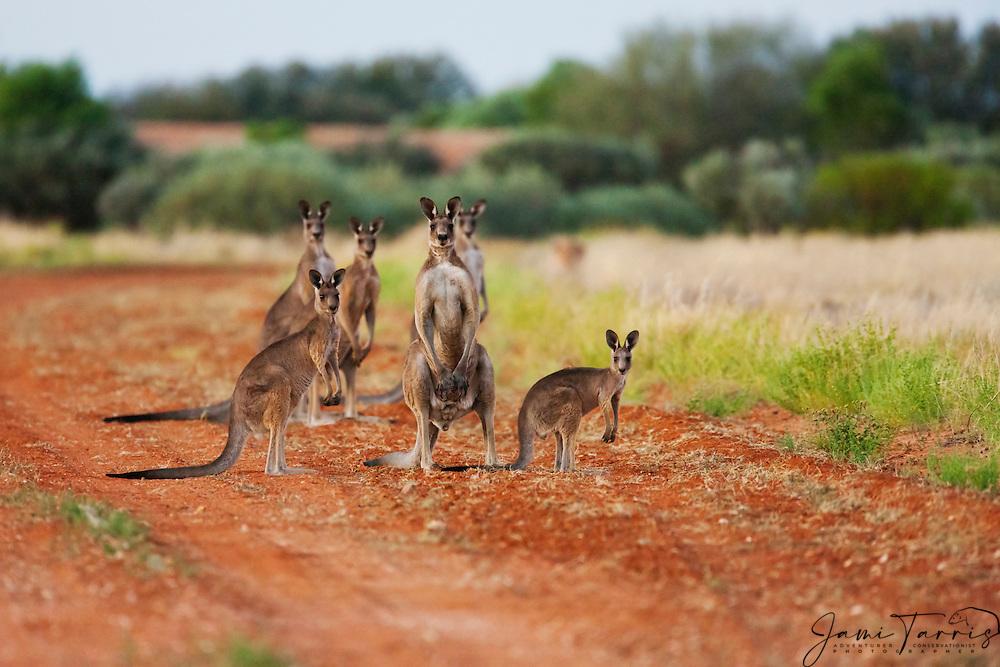 A congregation of western kangaroos ( Macropus fuliginosus) gathered together on the road in the early morning,  Sturt Stony Desert,  Australia