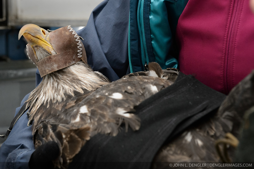 """Once a bald eagle is captured, a hood is placed on the eagle to keep it calm. Additionally, a wrap is placed around the eagle to protect its wings during body measurement collection and GPS satellite transmitter installation. Here Yiwei Wang, graduate student, University of California Santa Cruz. The bald eagle that will be part of a migration study of eagles that visit the Chilkat River being conducted by Rachel Wheat, a graduate student at the University of California Santa Cruz. She hopes to learn how closely eagles track salmon availability across time and space. Wheat is tracking bald eagles using solar-powered GPS satellite transmitters (also known as PTT - platform transmitter terminal)  that attach to the backs of the eagles using a lightweight harness. The latest tracking location data of this bald eagle known as """"2Z"""" can be found here: http://www.ecologyalaska.com/eagle-tracker/2z/ . During late fall, bald eagles congregate along the Chilkat River to feed on salmon. This gathering of bald eagles in the Alaska Chilkat Bald Eagle Preserve is believed to be one of the largest gatherings of bald eagles in the world."""