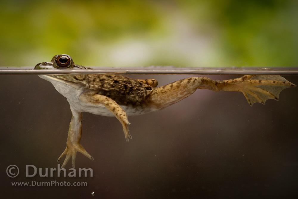 A juvenile Southern Leopard Frog (Rana sphenocephala). Central Texas. Temporarily captive.