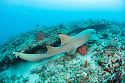 A Nurse Shark (Ginglymostoma cirratum) rests underneath a ledge offshore Juno Beach, Florida, United States