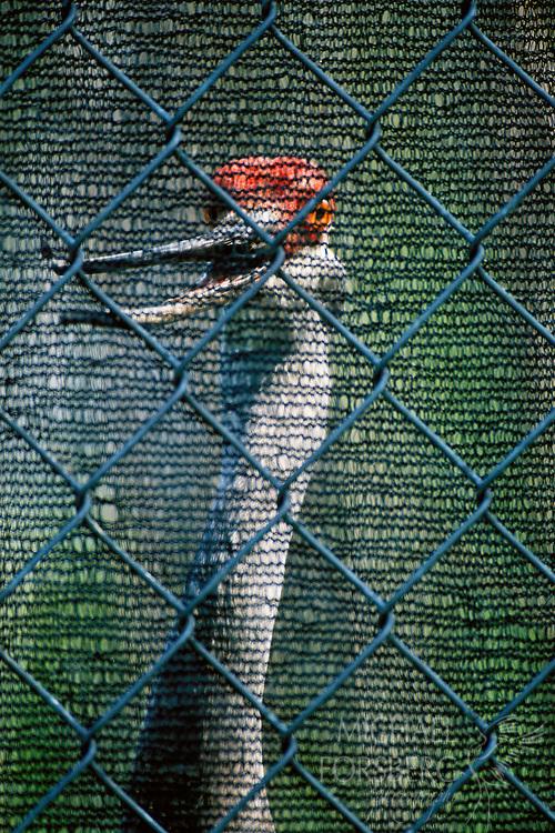 Mississippi Sandhill Crane. Captive breeding flock. Audubon Nature Center, New Orleans, LA