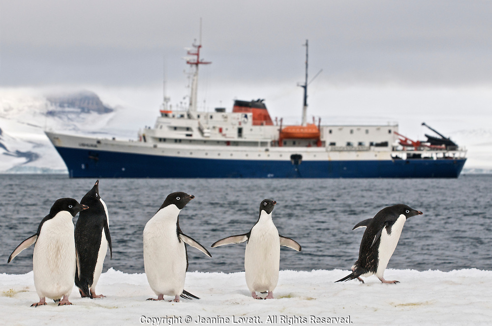 Adelie penguins on a iceberg in front of a ice hardened ship in Antarctica.