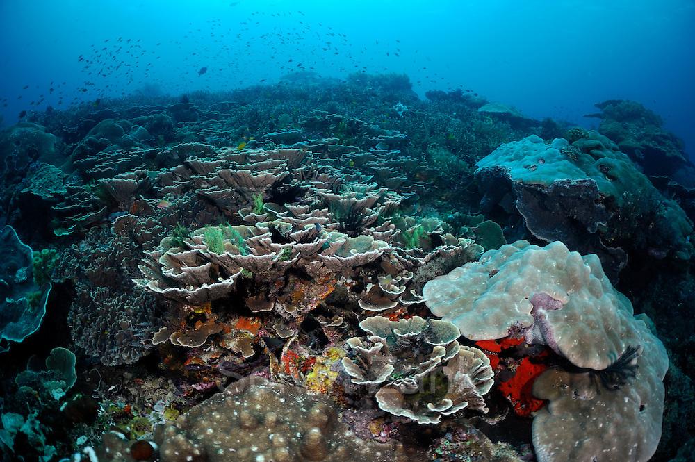 Reeftop with stone corals. Raja Ampat, West Papua, Indonesia, Pacific Ocean | Porenkoralle (Montipora sp. ) Raja Ampat, West Papua, Indonesien, Pazifischer Ozean