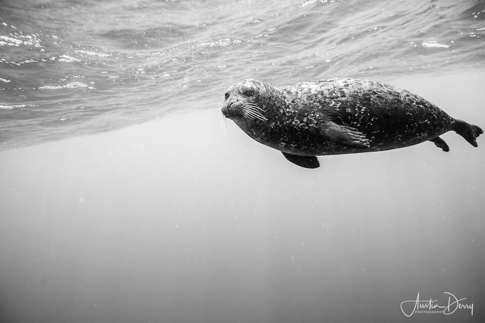 Black/White Harbor Seal