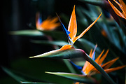 May 23-27, 2018: Monaco Grand Prix. Bird of paradise flower