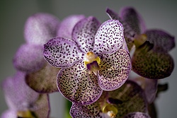 Purple Spotted Vanda Orchid #3