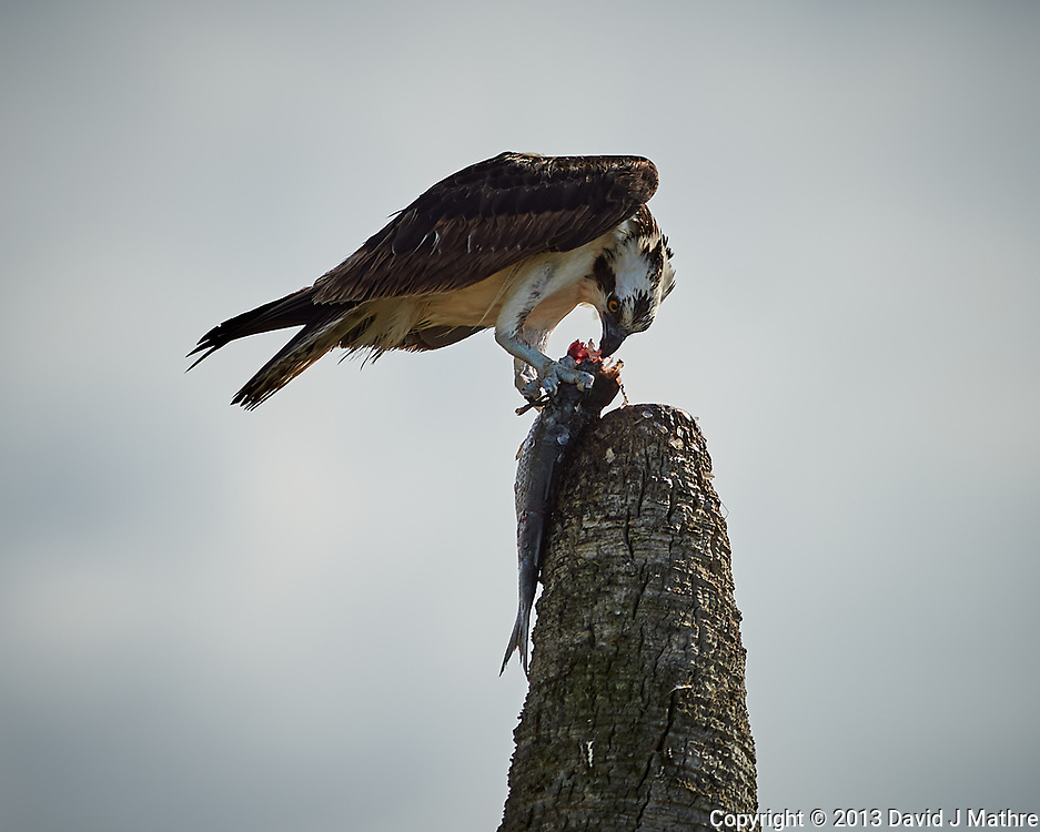 Osprey with fish for lunch. Biolab Road in Merritt Island National Wildlife Refuge. Image taken with a Nikon D4 camera and 300mm f/2.8 VR lens (ISO 100, 300 mm, f/3.2, 1/2000 sec).