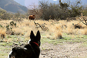 An Australian Cattle Dog, Queensland Blue Heeler, meets cattle on open range in the foothills of the Santa Rita Mountains of the Coronado National Forest in the Sonoran Desert, Green Valley, Arizona, USA.