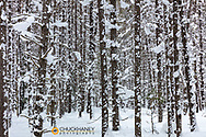 Snow clad lodgepole pine forest in Glacier National Park, Montana, USA