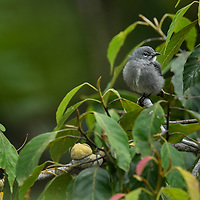 Known from only a handful of sightings and photos, the elusive Spectacled Flowerpecker is the first new endemic bird discovered in Borneo in over 100 years. No specimen has yet been caught and studied and it remains formally undescribed with no valid name.