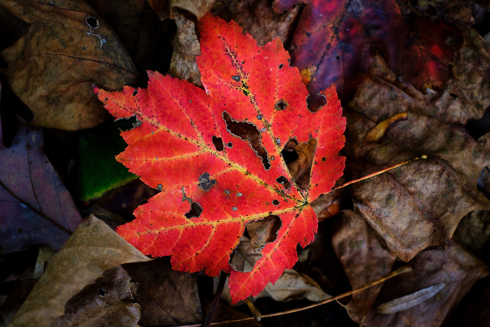 A bright red leaf with holes in late fall on other brown leaves.