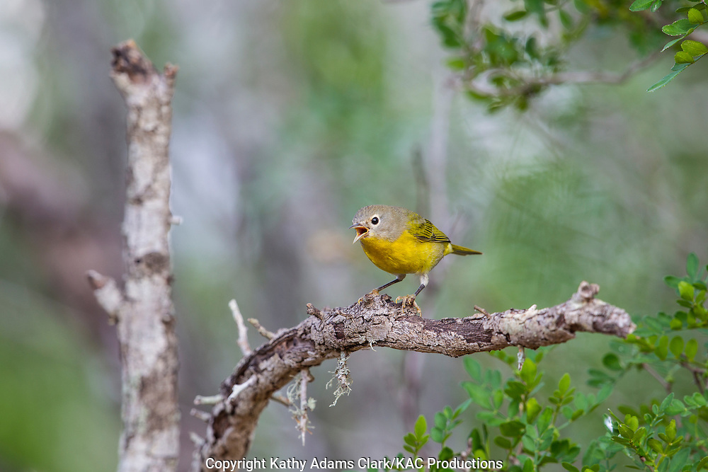 Nashville Warbler, Oreothlypis ruficapella, calling, singing, San Jose Ranch, near Laredo, Texas.