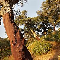 Alberto Carrera, Blockhead Forest, Cork, Los Alcornocales Natural Park, Cádiz Province, Andalusia, Spain, Europe