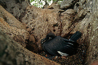 A southern ground hornbill (Bucorvus cafer) in its nest.