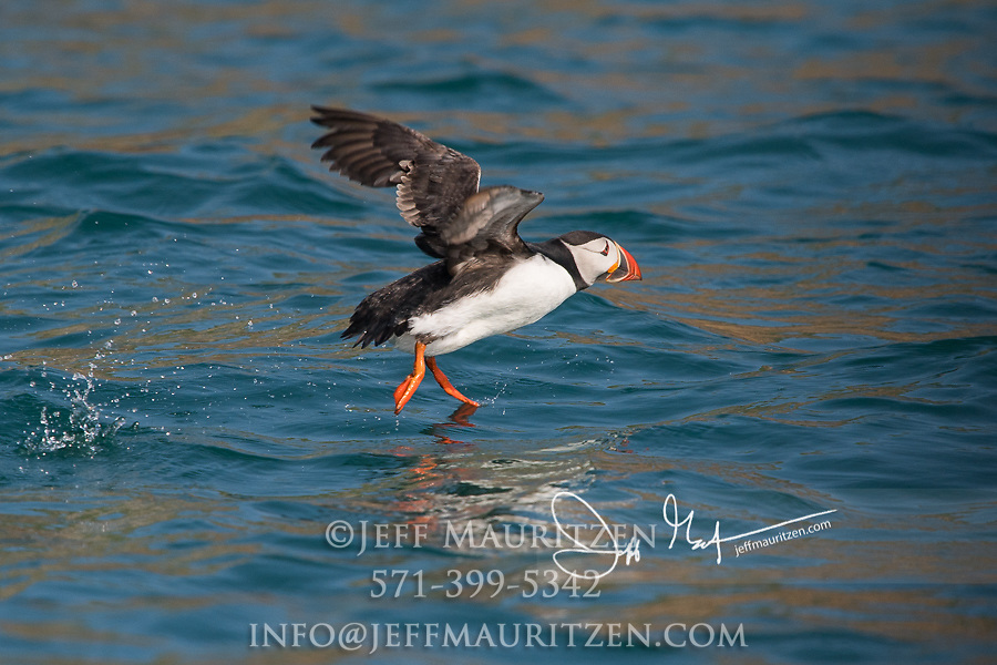 An Atlantic puffin takes flight from the coastal waters that surround Skomer Island, a National Nature Reserve of Wales, U.K.
